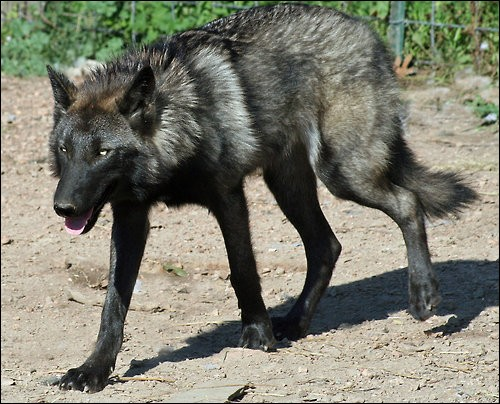 Wolfdog For Sale in United States  Hoobly Classifieds