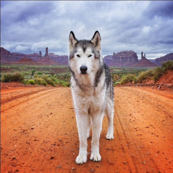 Is Loki the wolfdog a wolf or a dog?