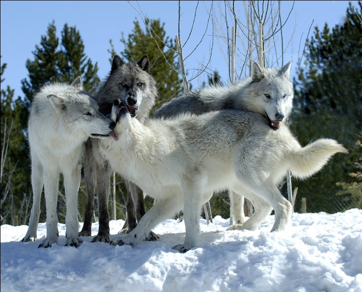 Wolves' tails are curly when :