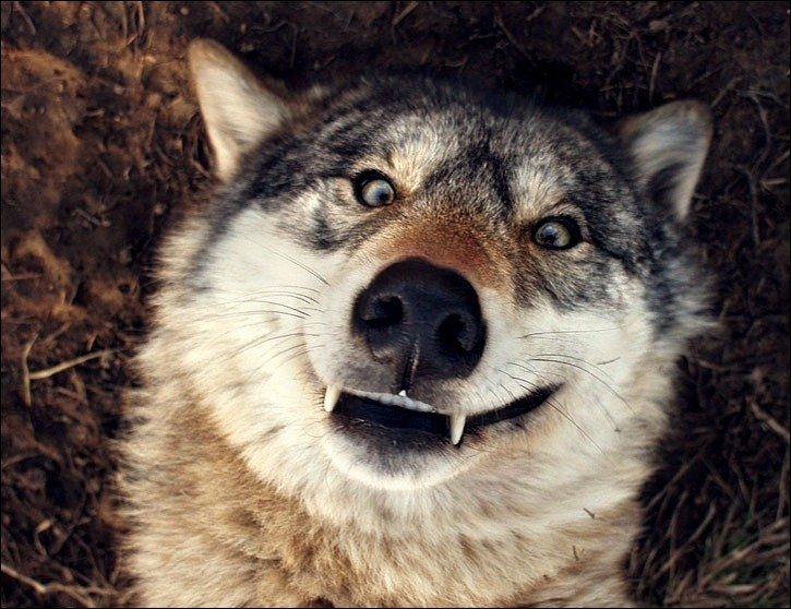 When someone attacks you, the wolf will :