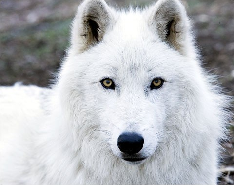 Arctic wolves are born :