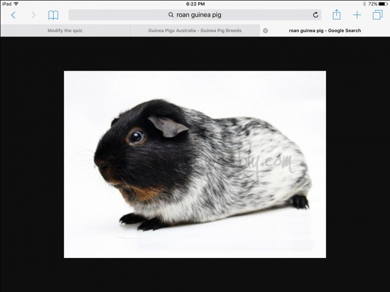 This breed should not be bred with a Dalmation Guinea pig :
