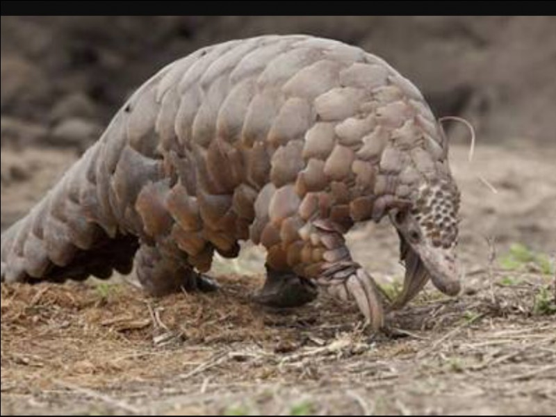 How many species of pangolins live in Africa?