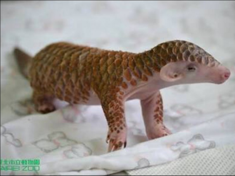 Do baby pangolins have soft scales?