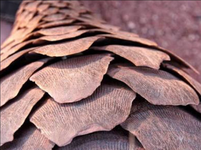 Is the material of the pangolin's scales the same material as human nails?