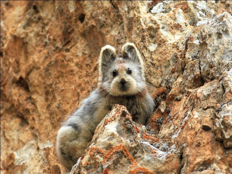 """""""Magic rabbit"""" is only a nickname for this animal. What is the correct name?"""