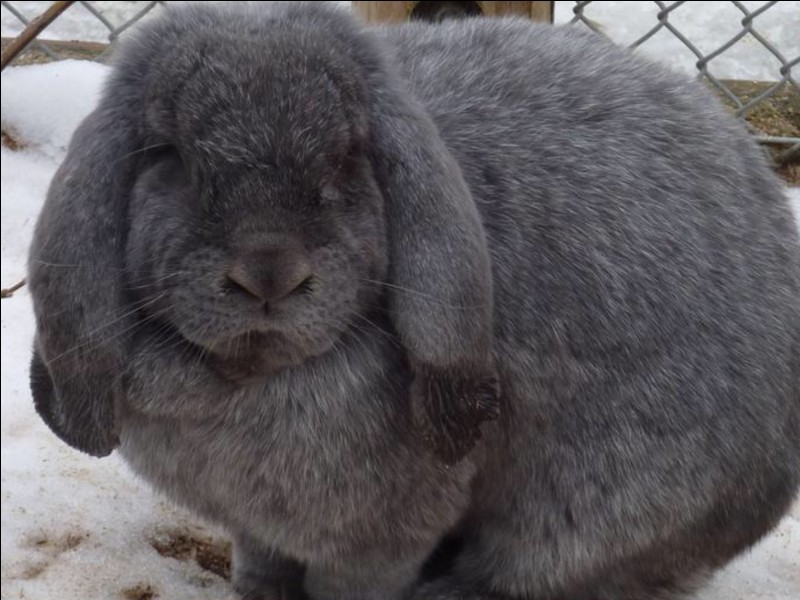 What lop breed is this?