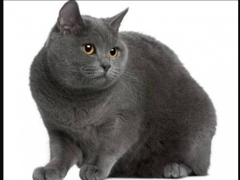 Chartreux, Russian Blue or Korat