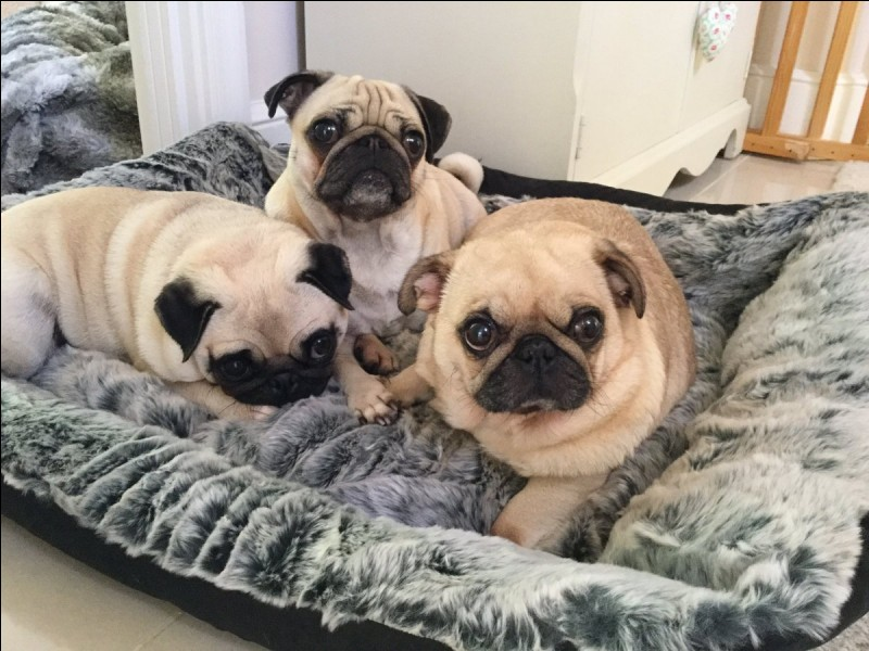 How many pugs does Dan own?