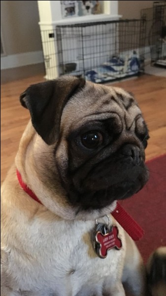 What are the names of Dan's pugs?