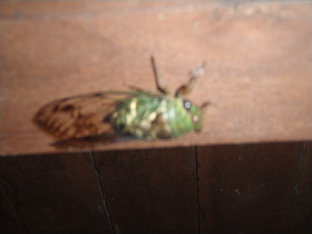 There are cicadas in Amazonia !