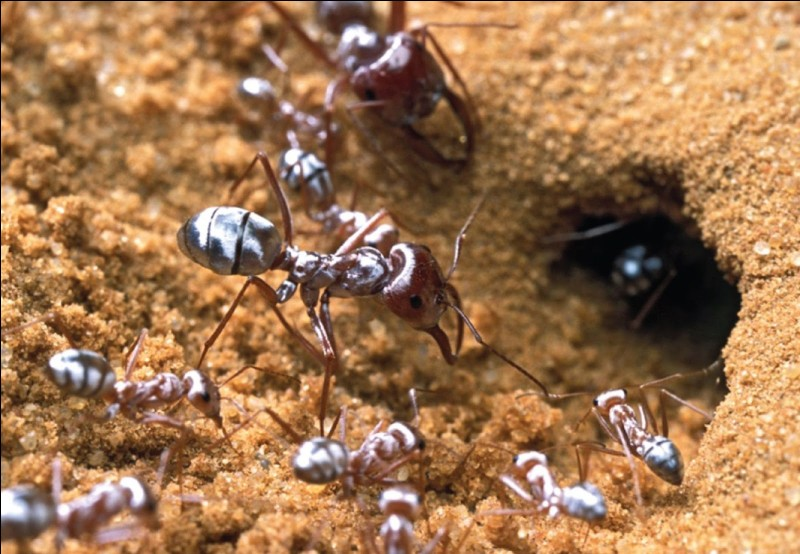 Certain sorts (species) of ants sound kamikazes, they blow up on their enemies !