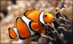 It looks like Nemo, doesn't it ? It's a ...