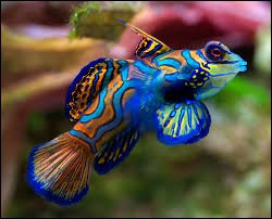 This brightly colored fish is very popular but some of them never adapt to aquarium life. It's a ...