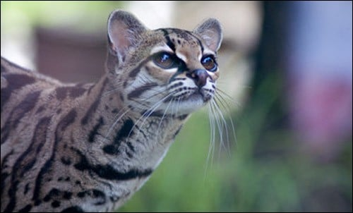 Which feature of the margay is unique among big cats?