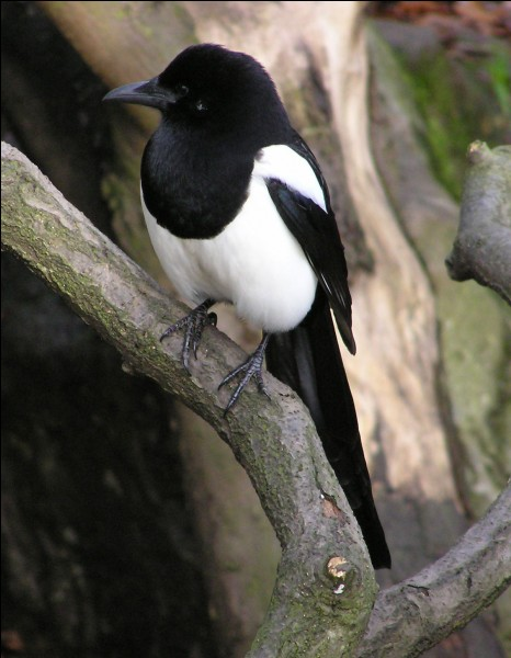 True or false? In New York parks, you can see many magpies.