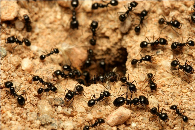 How do ants communicate?
