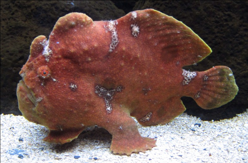 What is special about frogfish?