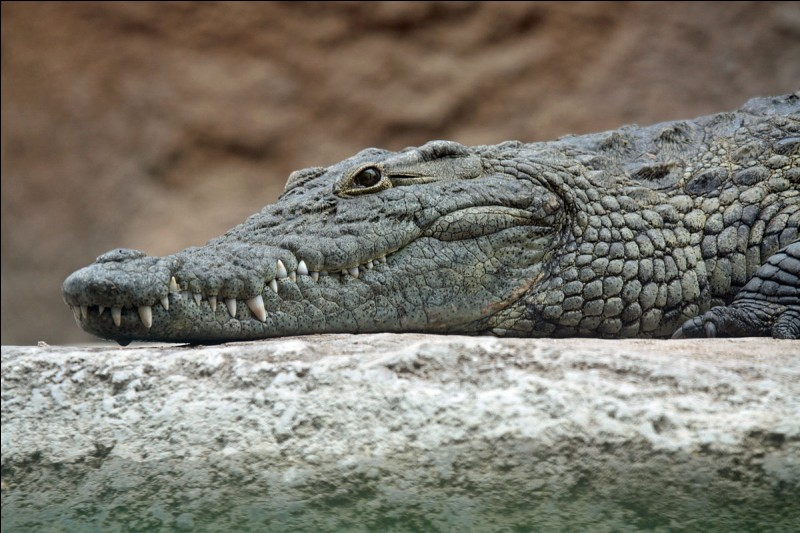 To digest, what do crocodiles eat?