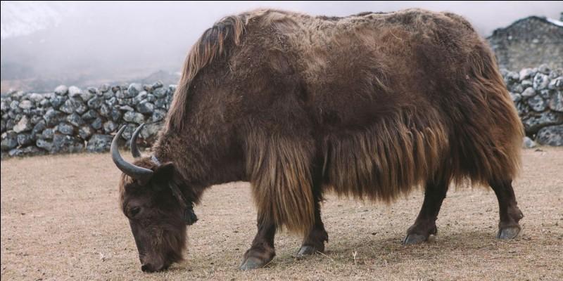 True or false? The female yak produces a purple milk.