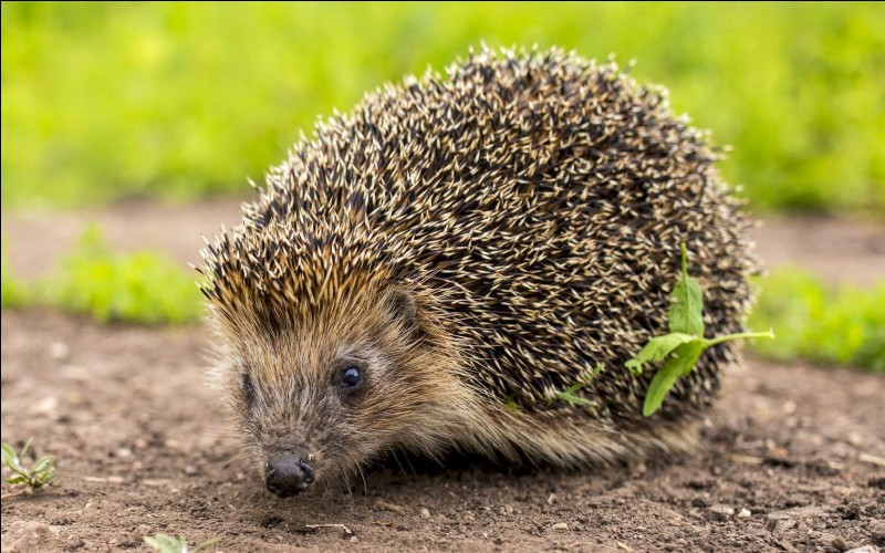 True or false? Hedgehogs are born with quills.