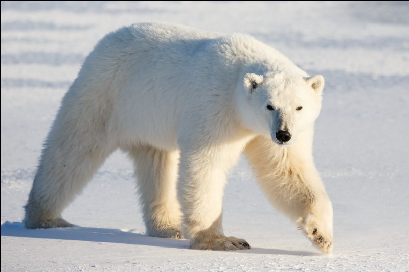 How do polar bears do to find food?