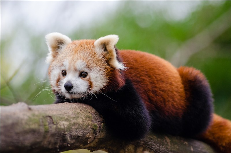 How do red pandas sleep according to the temperature?