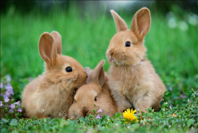 True or false? The rabbits pull out their hair to nest their babies.