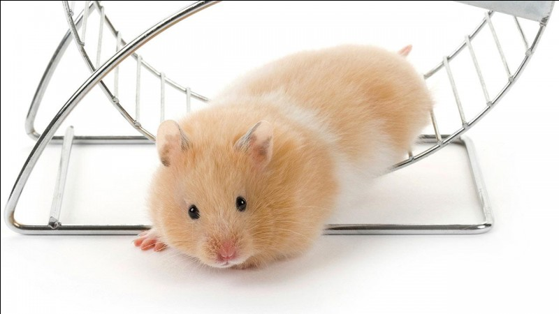 True or false? Hamsters hide their food in their jowls.