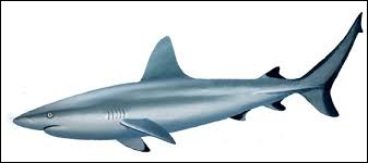 What is the name of this shark ?