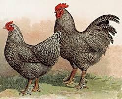 Breeds of Hens