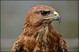 What is the name of this raptor ?