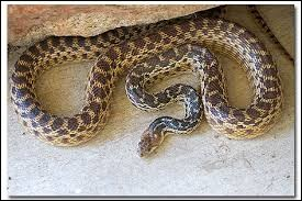 What is the name of this snake ?