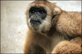 What is the name of this monkey ?