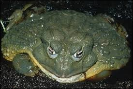 What is the name of this frog ?
