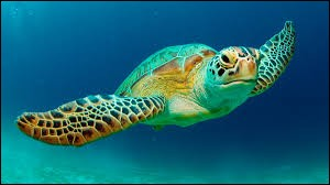 What is the name of this turtle ?