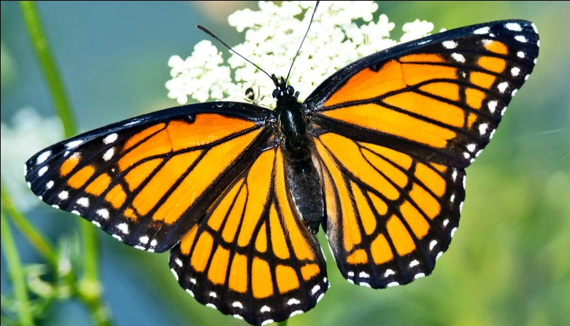 A butterfly is a(n) :