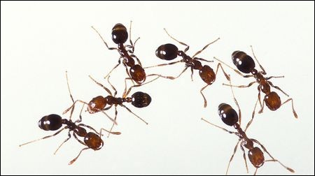 Ants are :