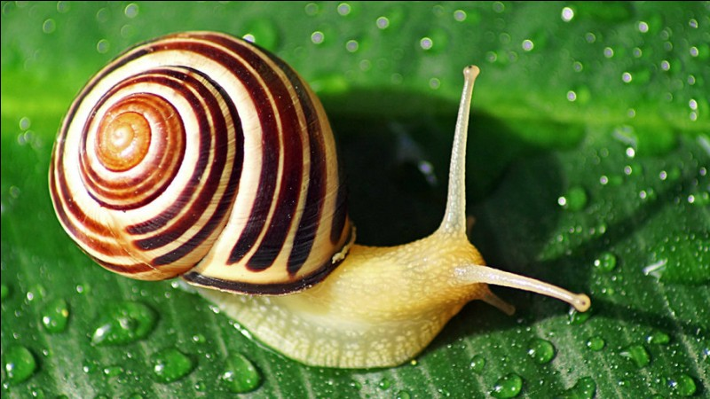 A snail is a(n) :