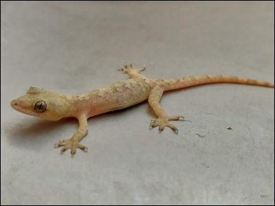 A lizard is a(n) :