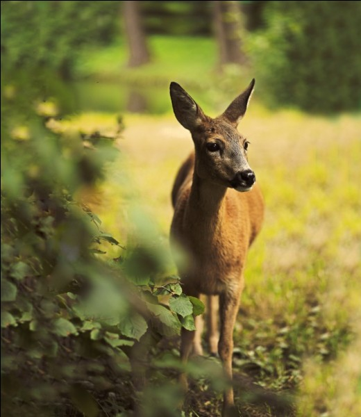 Roe - deer lives in Europe.