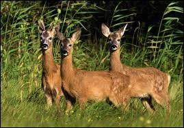 Roe deer are afraid of water.