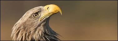What eats eagles ?