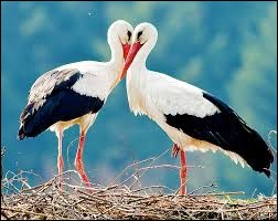 How many species of stork are there ?