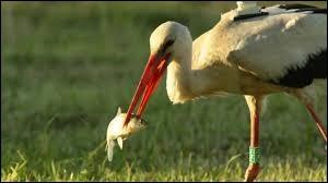 Storks eats snakes.