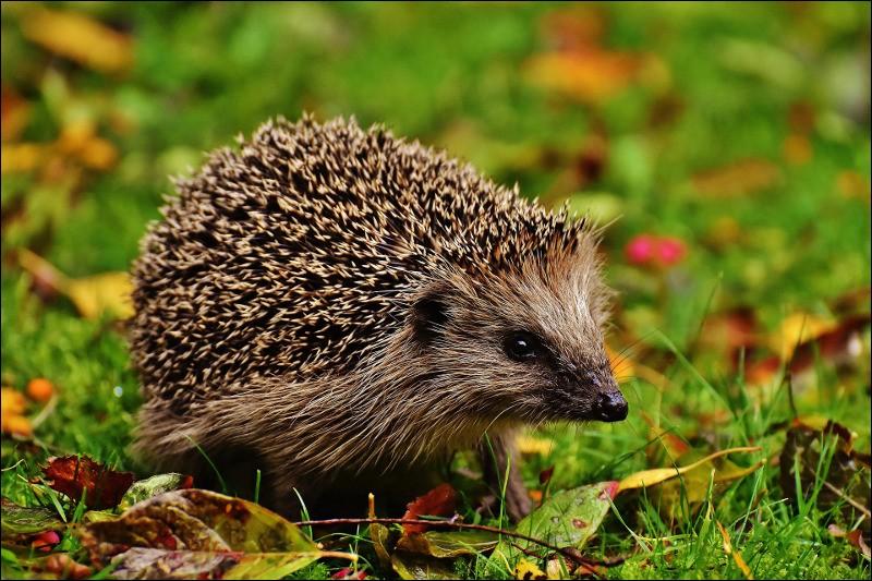 How long lives hedgehog ?