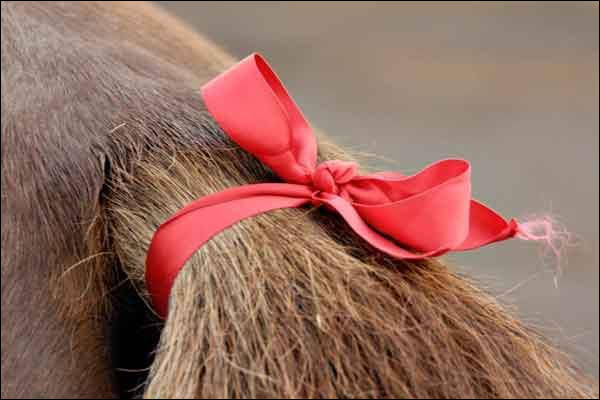 If a horse at a horse show/competition has a red ribbon on their tail, what does that mean?