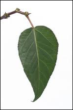 What tree does this leaf belong to ?