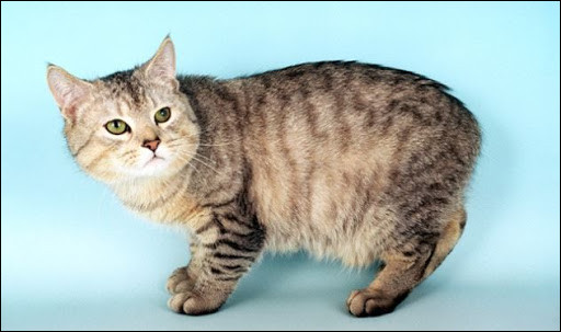 The manx (pictured) has no tail. It's a cat...