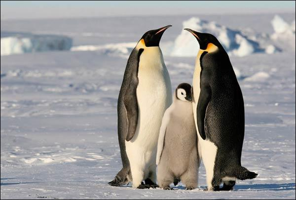 Penguins live on the Arctic sea ice.